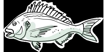 ocean fish species the fish we supply catch in cornwall rh ocean fish co uk Sea Bream Fish Species of Bream Fish